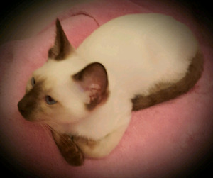 ❤CHATONS SIAMOIS❤PURE SIAMESE KITTENS❤