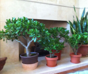 Large House plants / Jades, ready to flower