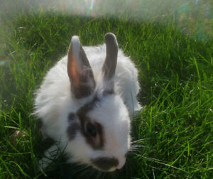 Lapins mini rex mix tete de lion