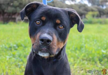 Boi - Available for Adoption Gawler Gawler Area Preview