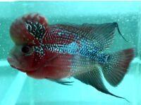 Grade AA Flowerhorn Cichlids   4-6 inch   Freshwater Fish   FROM £105.00