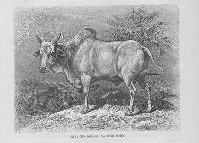 Zebu oder Buckelrind Bos primigenius indicus Holzstich von 1891 Rinderrassen
