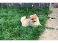 miniature Pomeranian girl for sale