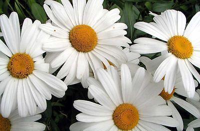 daisy, SHASTA, PERENNIAL, white flower, 500 seeds! ...