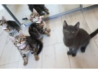 Excellent Temperaments Tabby Kittens For Sale