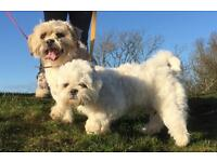 - Malshi puppies litter of 6-Maltese +Shih Tzu