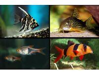 x12 Tropical Fish Bundle | x2 Clown Loach, x2 Angels, x6 Harlequinn Rasbora, x2 Sterbai