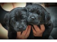 Labrador Puppies For Sale - only 3 left!