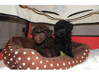 Toy Poodle puppies x 2 boys