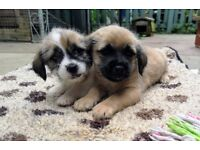 Shih Tzu cross Jack Russell puppies for sale