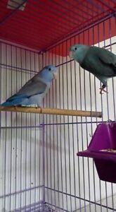 Pacific Parrotlet breeding pairs