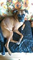 "Young Female Dog - Boxer: ""Micra"""