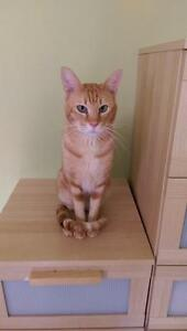 "Adult Male Cat - Oriental Short Hair: ""Conde"""
