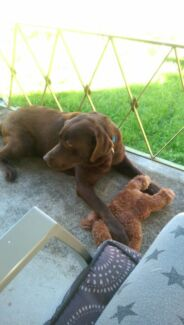 Female chocolate Labrador Springwood Blue Mountains Preview