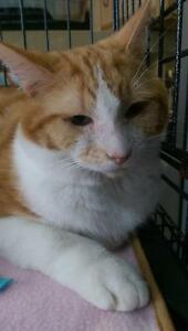 "Adult Male Cat - Domestic Short Hair: ""Rupert"""