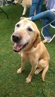 """Senior Male Dog - Labrador Retriever: """"C.J."""""""