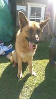 "Adult Male Dog - German Shepherd Dog: ""Tye"""