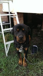 dog free liverpool add to gumtree classifieds watchlist dog for sale $