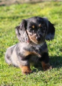 Looking for a miniature Longhaired Dachshunds)
