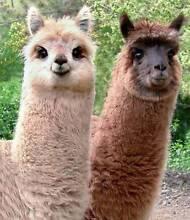 Alpacas for Lawnmowing Echuca Campaspe Area Preview