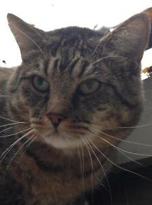 """Adult Male Cat - Tabby - Brown: """"Casey"""""""