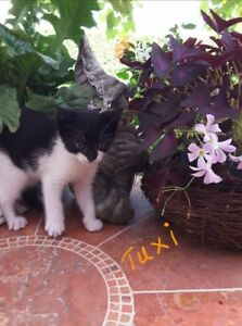 """Baby Male Cat - Domestic Short Hair: """"Tuxi"""""""