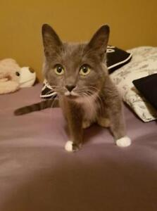 "Young Male Cat - Domestic Short Hair: ""Odin"""