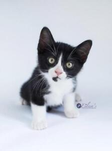 """Baby Male Cat - Domestic Short Hair: """"Henry"""""""