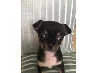 Beauty Chihuahua Puppy (Male)