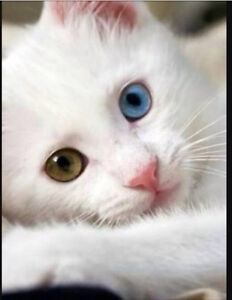 ODD EYE - WANTED: Female kitten Annandale Leichhardt Area Preview