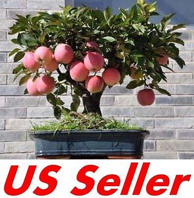 20 Seeds Bonsai Apple Tree Seeds E32.5, Fruit Sweet Delicious US Seller ()