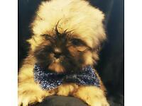 Shihtzu puppy's