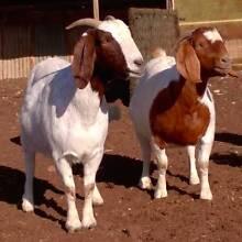 Boer Goats - one buck and three does Karoonda Karoonda Area Preview