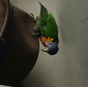 Lost lorikeet. Maitland Maitland Area Preview