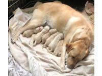 KC Registered Pedigree Labrador Retriever Puppies