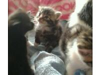 Maine coon x kittens ready to go