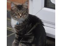 Missing 10 month old Kitten. Reward of £200 offered.