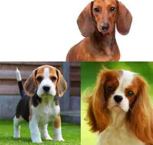 WTB King Charles Cavalier, dachshund, beagle (appropriate $) Warrandyte Manningham Area Preview