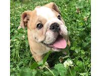 Merle fawn male English bulldog 16 weeks old