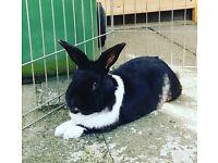 Sweet friendly rabbit for sale