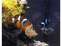 Clown Fish (pair)