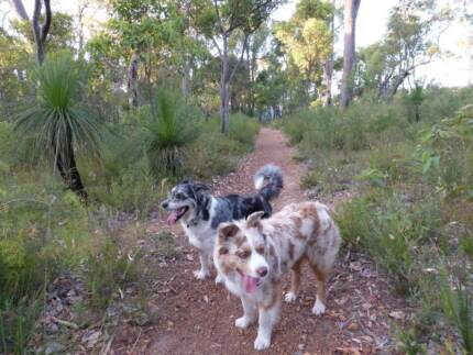 Looking for a dog walker for my two Australian Shepherds Kenwick Gosnells Area Preview