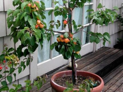 Potted fruit or plants Sydenham Marrickville Area Preview