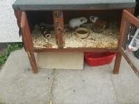 Guinea pig hutch & 2 guinea pigs