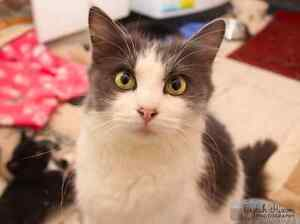Lolly rescue CAT available for adoption VET WORK INCLUDED Nollamara Stirling Area Preview