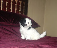 SOLD Shihpoo Female Black and White