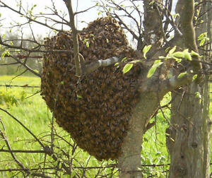 BEES! Bee swarm removal and Bee nest extraction - London London Ontario image 1