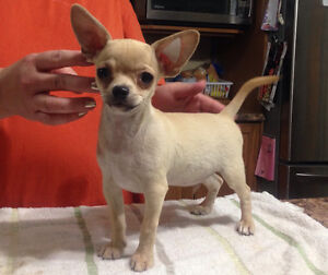 Registered chihuahua boy, very friendly