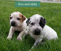 ONLY 3 CATAHOULA BULLDOG PUPPIES LEFT !!!