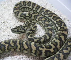 🐍ADULT SNAKES 🐍 Para Hills West Salisbury Area Preview